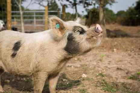 Kew Little Pigs - Mini Pig Keeping for Children and Families - Save 20%