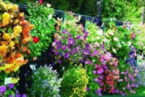 Van Meuwen - Forty Plug Plants For Basket and Patio with Fertiliser - Save 82%