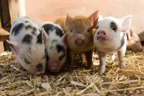 Kew Little Pigs - Mini Pig Keeping 75 Minute or Two Hour Course for Adults and Children - Save 20%