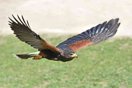 Xtreme Falconry - Half day hawking experience for one - Save 71%