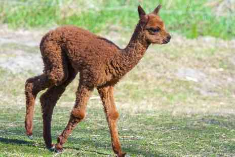 Charnwood Forest Alpacas - Baby Alpaca Experience for One or Two - Save 50%