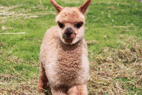 Charnwood Forest Alpacas - 60 minute baby alpaca experience for one child - Save 53%
