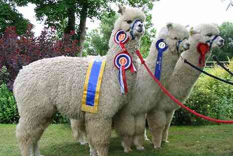 Charnwood Forest Alpacas - Alpaca Walk and Felting Experience for One or Two - Save 50%