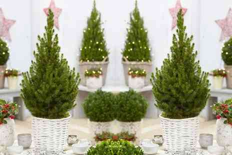 Gardening Express - One or Two Contemporary Christmas Trees in White Baskets With Free Delivery - Save 0%