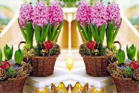 Gardening Express - One,Two or Three Pots of Fondant Pink Hyacinths With Free Delivery - Save 0%