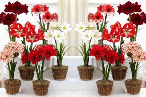 Gardening Express - Three or Six Pots of Amaryllis With Free Delivery - Save 0%