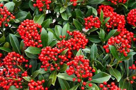 Gardening Express - One or Two Skimmia Japonica Plants With Free Delivery - Save 0%