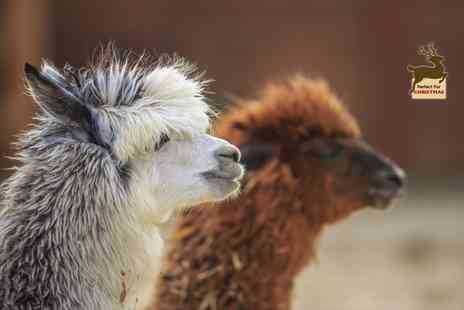 Charnwood Forest Alpacas - 60 minute walking with alpacas experience for an adult and child - Save 50%
