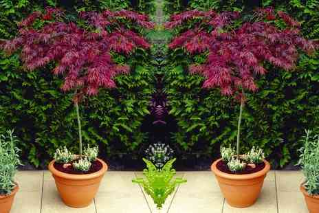 Gardening Express - Weeping Acer Japanese Maple Tree With Free Delivery - Save 0%