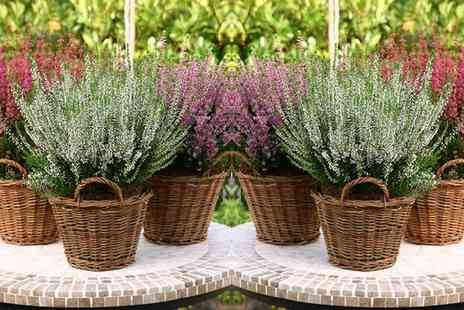 Gardening Express - Pack of 6,12 or 24 Winter Hardy Evegreen Heather Plants With Free Delivery - Save 0%