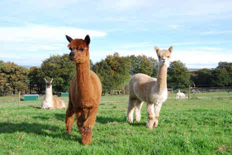 Alpaca Annie - 2½ hour alpaca trekking experience for two - Save 52%