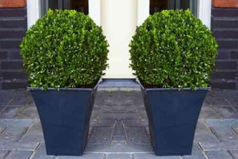 Gardening Express - Up to Four Premium Buxus Topiary Balls with Optional Flared Planters Include Free Delivery - Save 62%