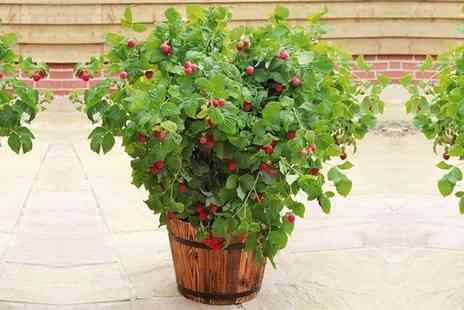 Gardening Express - Dwarf Summer Fruiting Raspberry With Free Delivery - Save 33%