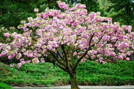 Gardening Express - One or Two Prunus Triloba Double Flowering Cherry Almond Trees With Free Delivery - Save 50%
