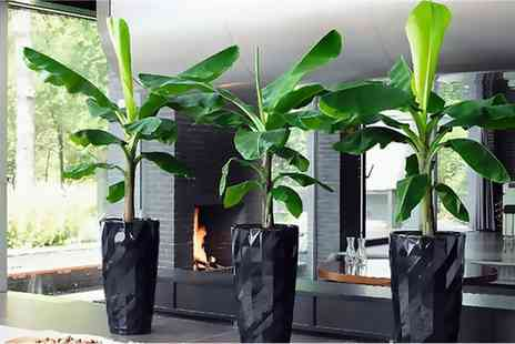 Gardening Express - Musa Banana Plants or with Feed and Tuscany Planters Include Free Delivery - Save 57%