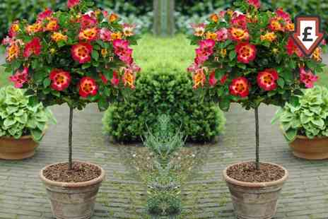 Gardening Express - Standard Rose Trees Babylon Eyes With Free Delivery - Save 58%