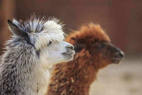 Charnwood Forest Alpacas - 90 minute walking with alpacas experience for one - Save 60%