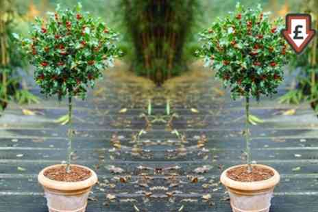 Gardening Express - Two or Four Holly Trees with Optional Planters With Free Delivery - Save 58%