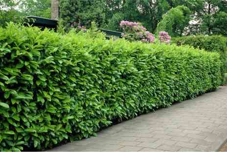 Gardening Express - Evergreen Laurel Hedge Plants With Free Delivery - Save 0%