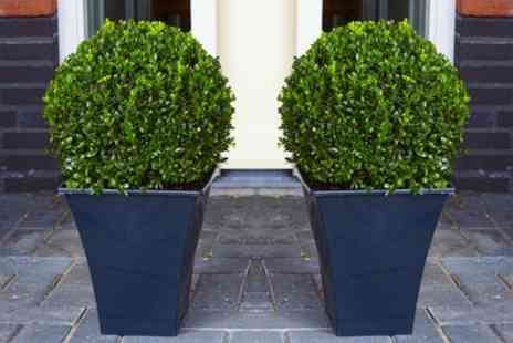 Gardening Express - Two or Four Buxus Topiary Balls with Optional Feed or Planters With Free Delivery - Save 58%