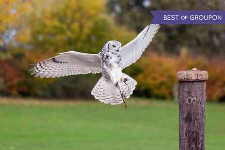 Hawks Of Steele - Owl Handling Experience for One or Two - Save 71%