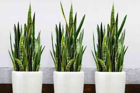 Gardening Express - One, Two or Three Sansevieria Snake Plants With Free Delivery - Save 25%