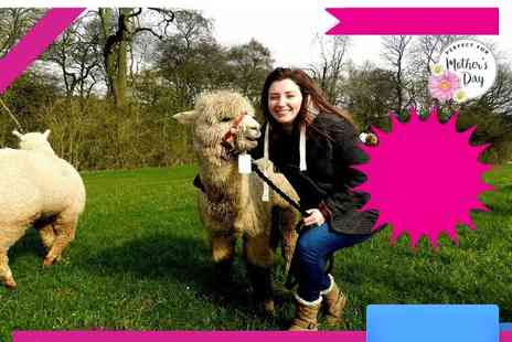 Charnwood Forest Alpacas - Alpaca trek and sparkling afternoon tea for one or two - Save 50%