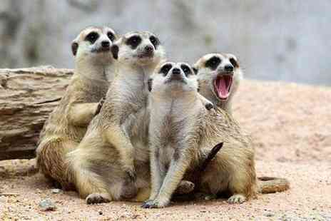 The Animal Experience - Meet the meerkats experience for one or two - Save 50%