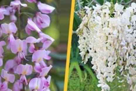 GardeningExpress.co.uk - Wisteria Climbing Plant Two - Save 63%
