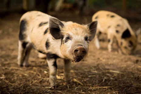 Kew Little Pigs - Micro pig pet and play experience for one or family of four - Save 47%