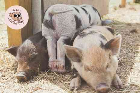 Kew Little Pigs - Micro pig pet and play experience for one person - Save 47%