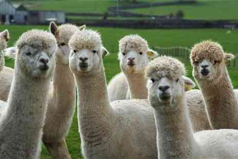Herrings Green Activity Farm - Alpaca walk and farm visit for one or two - Save 57%