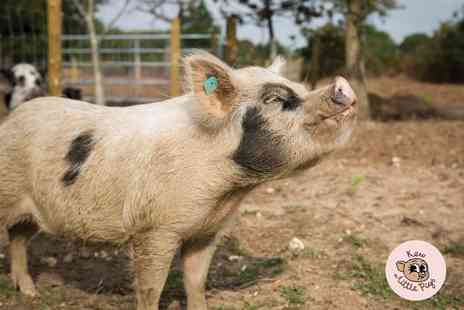 Kew Little Pigs - Miniature pig pet and play experience for one or four - Save 47%