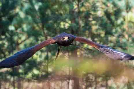 Hawks in The Forest - Bird of Prey Handling and Flying Experience for Up to Four - Save 57%