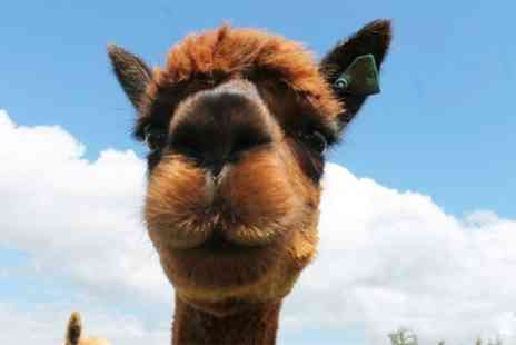 Charnwood Forest - Standard or Premium Alpaca Adoption Package - Save 55%