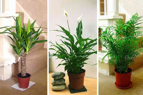 Easy Plants - Easy plants luxury indoor plant Choose from three varieties - Save 60%