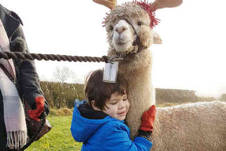 Charnwood Forest - 60 minute Christmas walking with alpacas experience for one person with a mulled wine - Save 60%