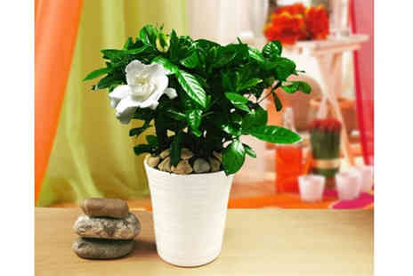 Easy Plants - Fragrant gardenia plant & white ceramic pot - Save 37%