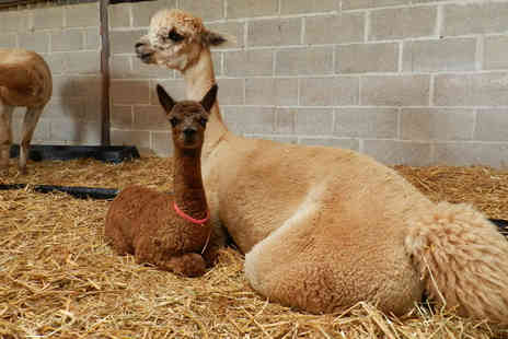 Charnwood Forest - Entry for one to the alpaca nativity experience with a mug of mulled wine on arrival - Save 55%