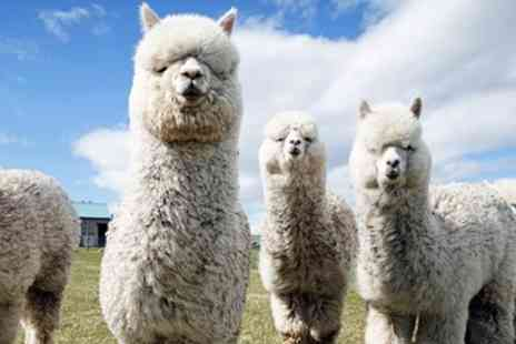 Alpaca Annie - Highly rated alpaca walk for 2 in Kent - Save 53%