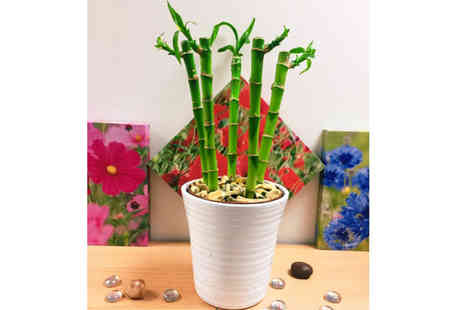 Easy Plants - An elegant bamboo plant And white ceramic pot - Save 52%