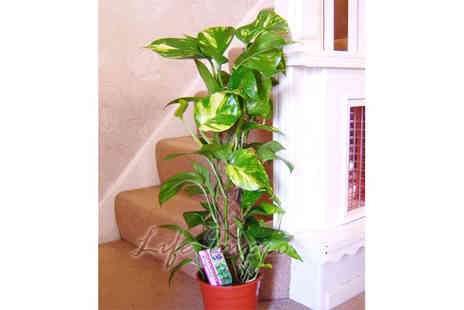 Easy Plants - A large devil evergreen house plant - Save 52%