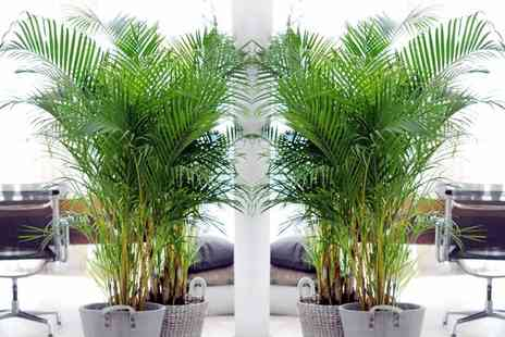 Groupon Goods Global GmbH - Two or Four Areca Palm Trees - Save 0%
