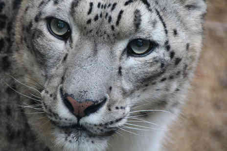 Safari Zoo - Snow leopard adoption including zoo admission, a cuddly toy and gift box - Save 41%