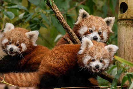 Safari Zoo - Red panda adoption including zoo admission, a cuddly toy and gift box - Save 54%