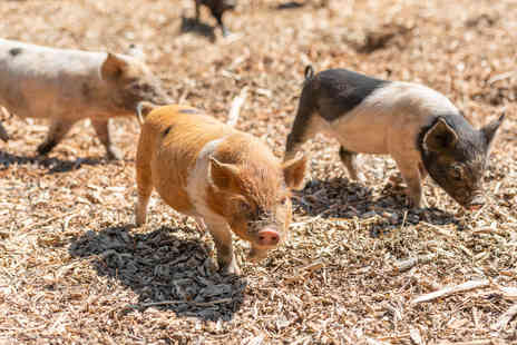 Kew Little Pigs - Piggy Pet and Play for Two - Save 18%