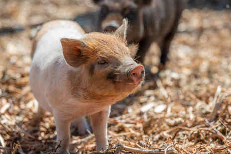 Kew Little Pigs - The Pig Enthusiast Experience - Save 18%