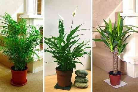 Easy Plants - Luxury indoor plant choose from three varieties - Save 60%