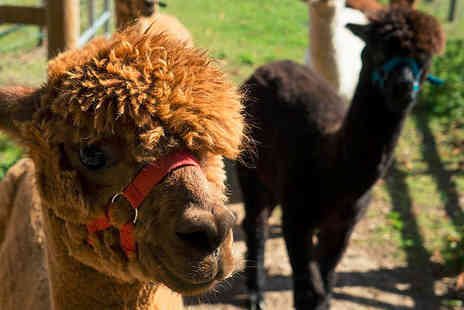 Woodland View Alpacas - Alpaca experience for two people with a cream tea or lunch - Save 61%