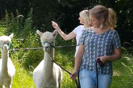Hilly Ridge Alpacas - 90 Minute Alpaca Trek with Refreshments for Up to Four - Save 40%